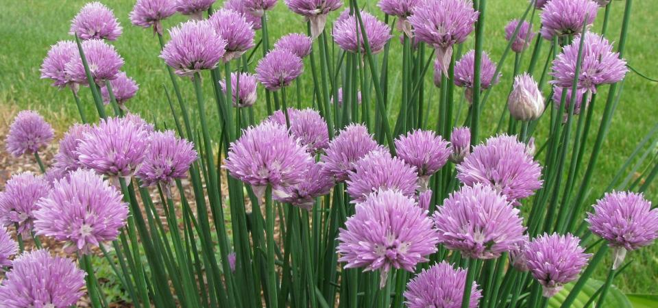Что сажать на даче: 10 душистых трав, которые украсят ваш сад