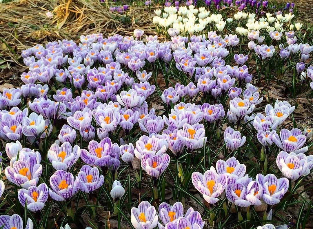 Тюльпаны, бонсай, герберы и пионы — весна пришла в «Аптекарский огород»